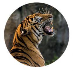 Freestyle Libre sensor sticker - tiger